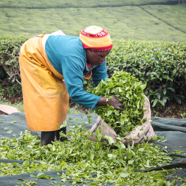 A tea plantation worker fills a sack with leaves